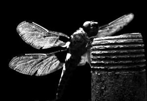Dragon-fly-3-b&w
